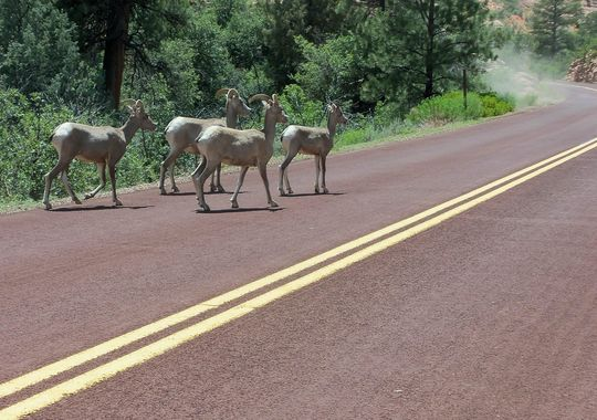 Big Horn Sheep cross the road at Zion National Park
